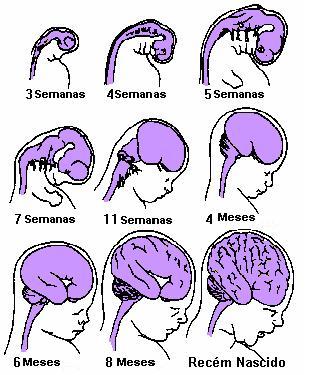 Resultado de imagem para cérebro bebe formação